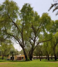 الأشجار البرية